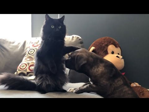 Kong's daughters playing with Marvel the CAT