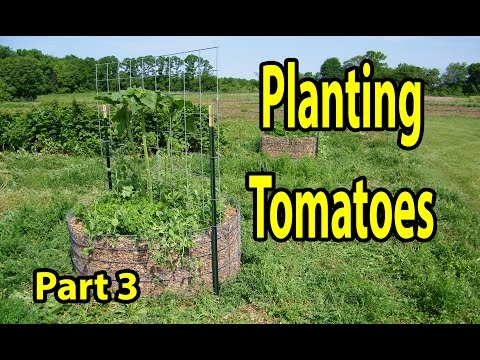 Planting Tomatoes in Healthy Soil inside Raised Wood Chip Organic Gardening Bed 101- Part 3
