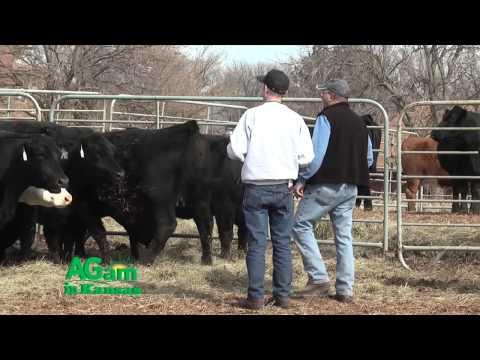 Farm Factor - 4 Truths about Cattle Handling - Sept. 22, 2015