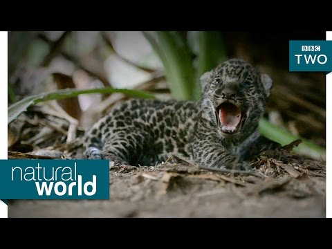 Baby jaguars caught on camera - Natural World: Brazil's Super Cats: Preview - BBC Two