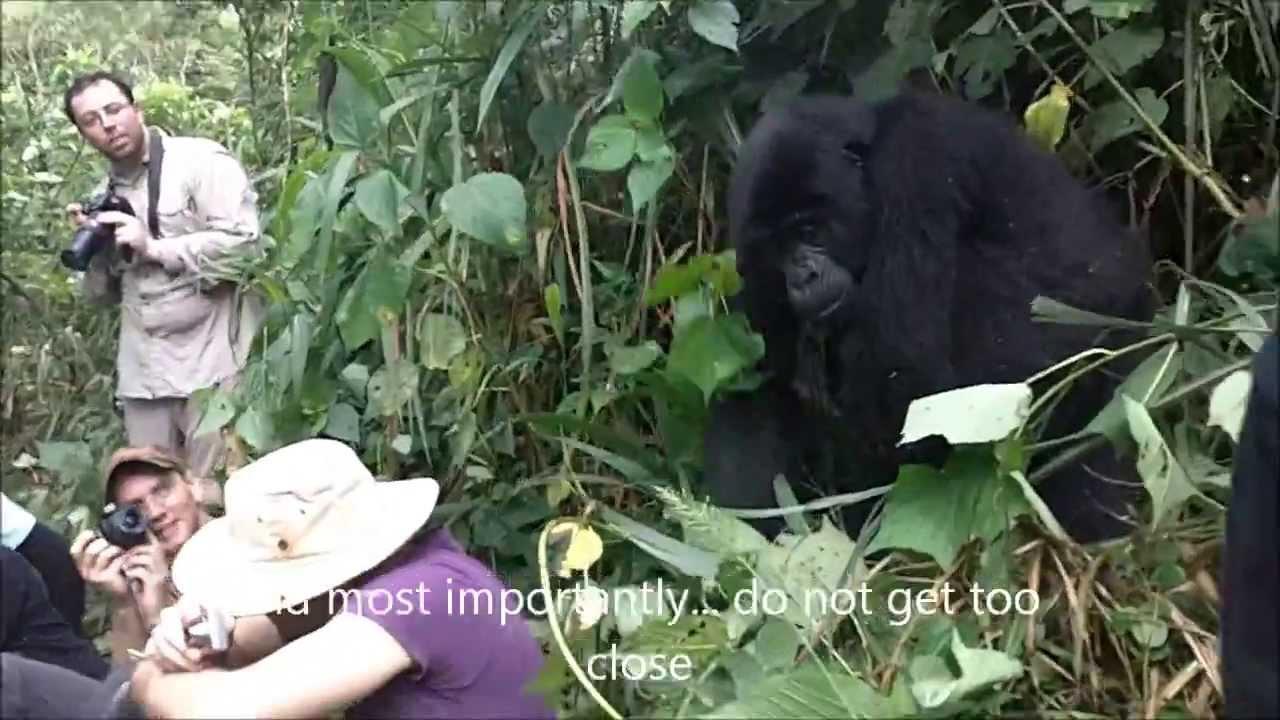gorilla hug youtube. Black Bedroom Furniture Sets. Home Design Ideas