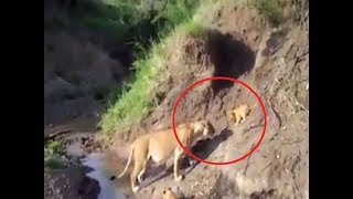 Watch: Lioness rescues stranded cub, video goes viral