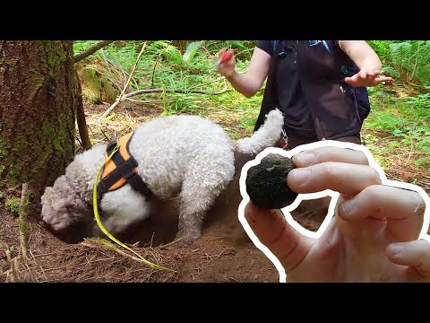 This Truffle-hunting Dog Could Make You Rich! | Love Nature