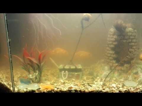 Загубили воду в аквариуме и появившаяся икра ампулярий