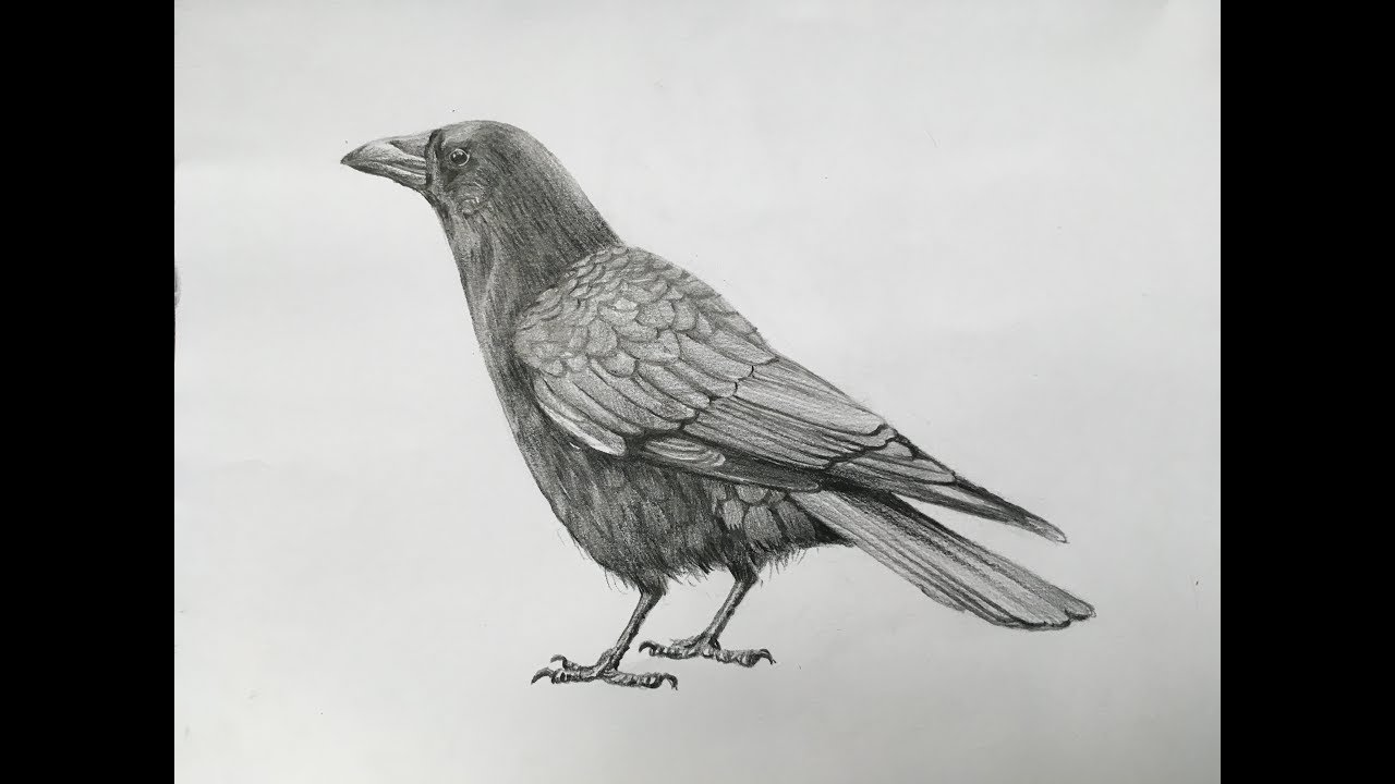 How to draw a crow with pencil strokes realistic crow drawing in pencil