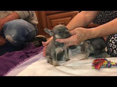 French Bulldog Blue And Tan Pups