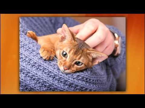 Round Roanoke - Star City Cat Fanciers