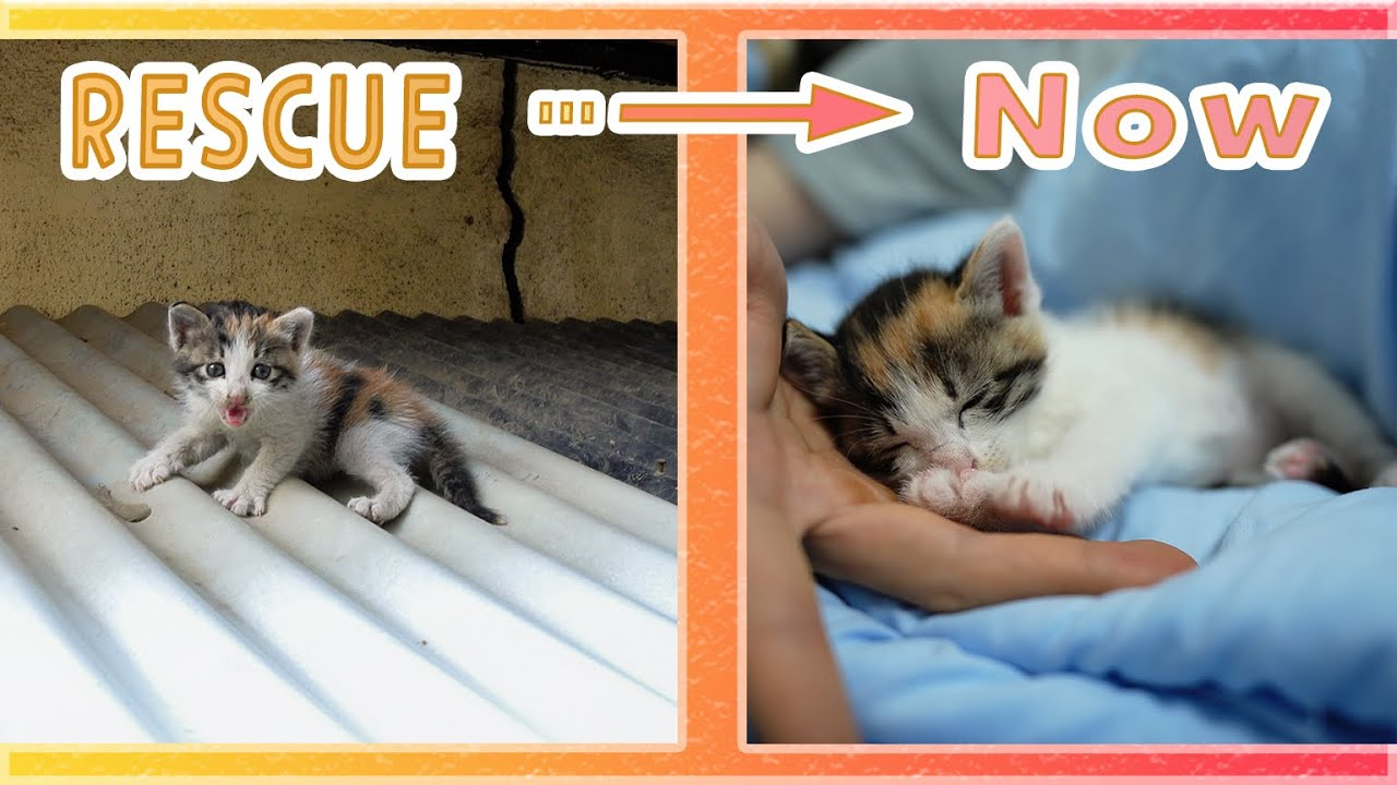 A Baby Cat Found on a Roof of a House, Changes in One Month After Rescue