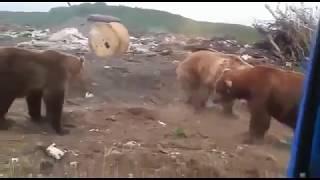 """Шок! """"стадо"""" медведей на свалке"""