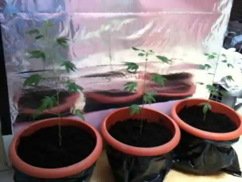 Ma petite culture cannabis youtube for Cannabis interieur