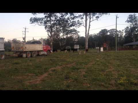 Siberian Huskies Herding Cattle