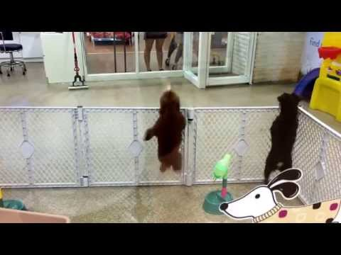 Dancing, Marching & Jumping Choco Poodle Dog