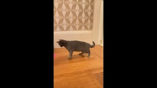 Korat Cat Bounces off Walls Chasing a Laser Pointer in Circles