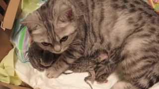Новорожденные шотландские котята - первый день жизни