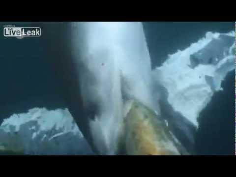 Köpek Balığı Mavi Balinayı Canlı Canlı Yedi