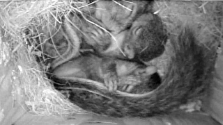 Mother Squirrel With Two Babies In Nest