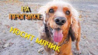 Английский кокер спаниель Сёма на прогулке ( говорящая собака ) / English cocker spaniel