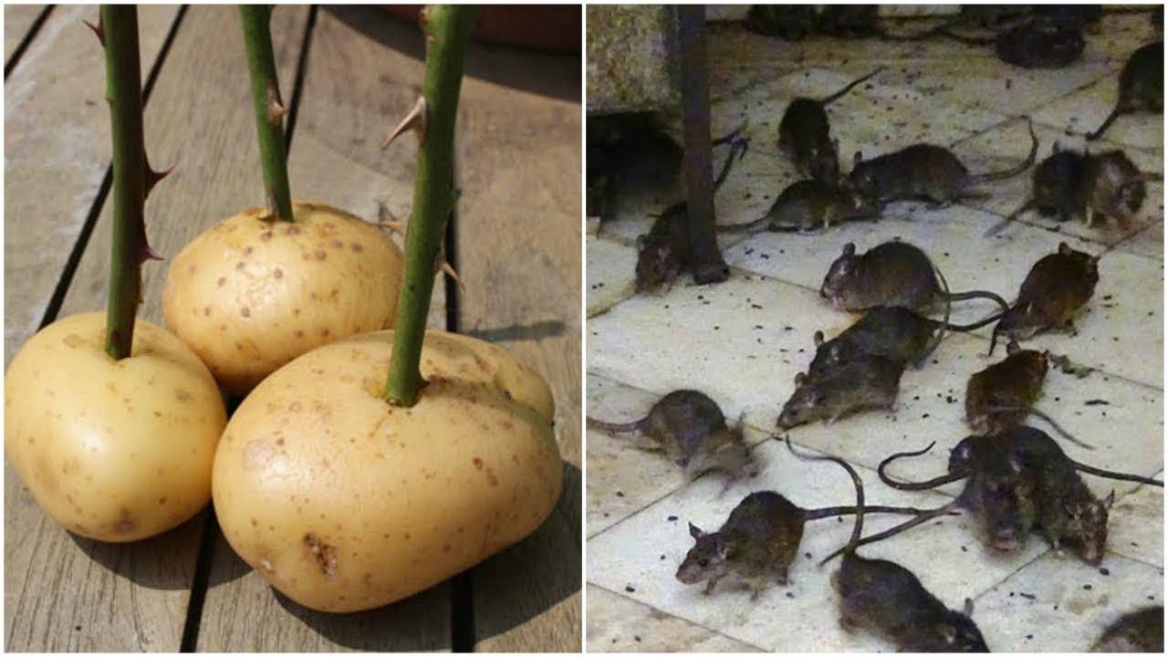 """Lũ Chuột Sẽ """"Đột Tử"""" Sau 1 Đêm Chỉ Với 3 Củ Khoai Tây, Quá Dễ Mà Hiệu Quả 100%"""