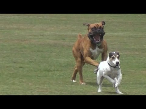 Little dog protects his brother & dominates.