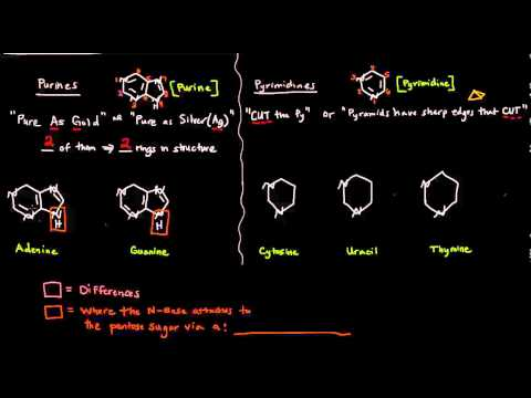 The Nitrogenous Bases - Purines And Pyrimidines