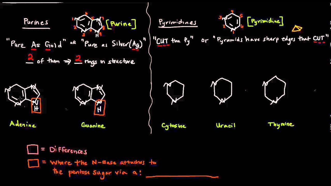 the nitrogenous bases purines and pyrimidines youtube