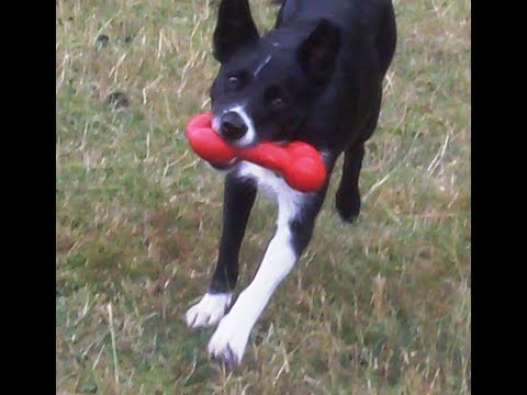 Border Collie Pitcher Pippa whizzing.