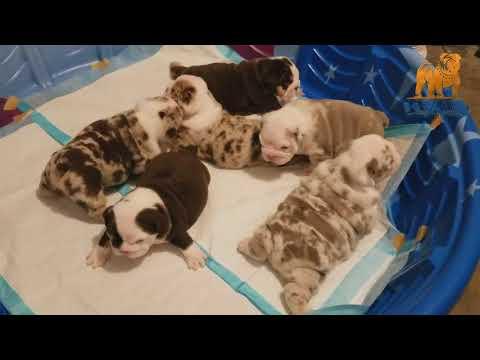 AKC Exotics English Bulldog, Chocolates Tri Merles & Lilac Tri Merles