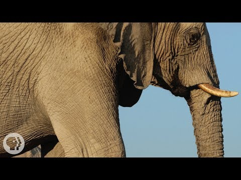 How Elephants Listen ... With Their Feet | Deep Look