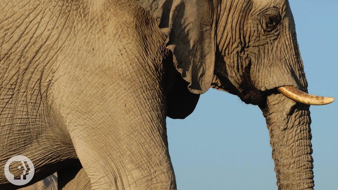how-elephants-listen-with-their-feet-deep-look