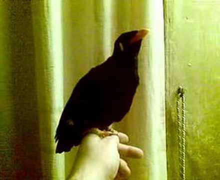 """talking mynah bird """"Banjo"""""""