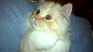 Тамерлан  - шотландский прямоухий котенок (3,5 месяца)