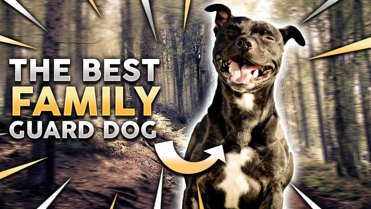 hogyan lehet a pitbull fogyni