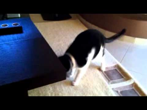 Stupid Cat Scared Of Moving Table – Very Funny!!!!!