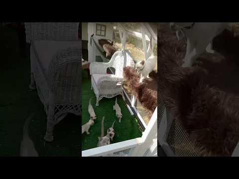 Tonkinese X Ragdoll Kittens 2