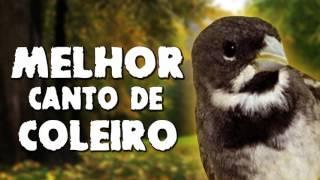 MELHOR CANTO DE COLEIRO TUI TUI DE TODOS OS TEMPOS   TIRADO DE MARATAIZES