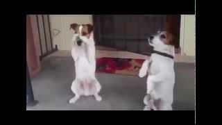 Смешные собаки - два брата акробата