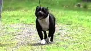 Staffordshire Bull Terrier - Chapter 4