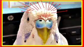 Тоша бедняга, линяет.  Линька у волнистого попугая #Птицы