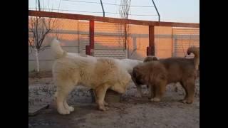 Забавные щенки алабая среднеазиатская овчарка