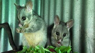 Cute Baby Brushtail Possums: Antony and Cleopatra sharing spinach and sweet potato ♥
