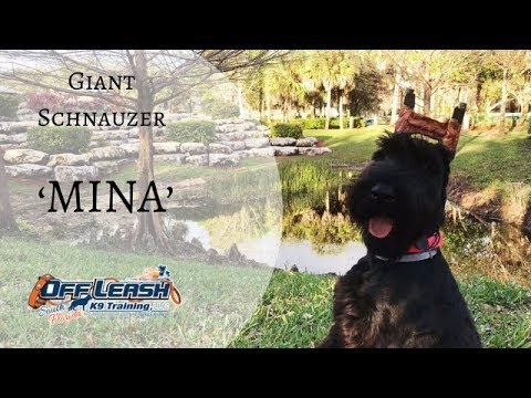 6.5MO OLD GIANT SCHNAUZER 'MINA', 2 WEEK BOARD AND TRAIN PROGRAM w/TIFFANY