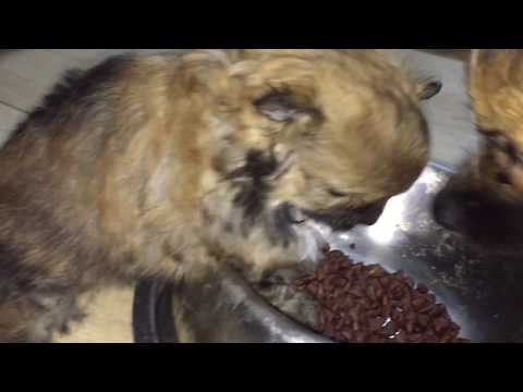 1 months Pomeranian first time eating dogs food