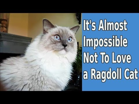 It's Almost Impossible Not To Love A Ragdoll Cat | Bowie the Ragdoll cat videos