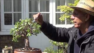 Bonsai Portulacaria Afra Broom style Pruning & cuttings to grow more Trees