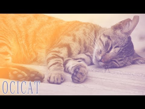 Ideal Companion: Ocicat | Cat Breeding Videos