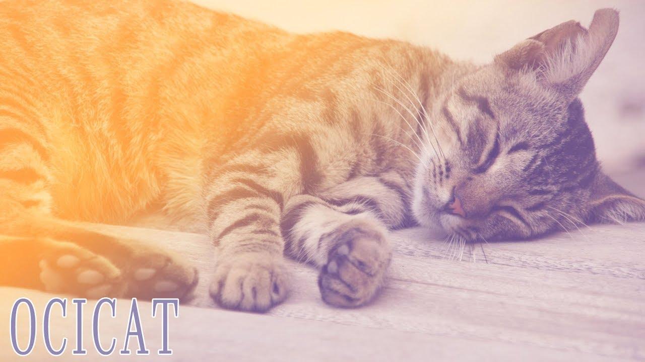 ideal companion ocicat cat breeding videos youtube
