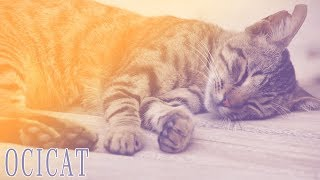 Ideal Companion: Ocicat | Cat Breeding Videos
