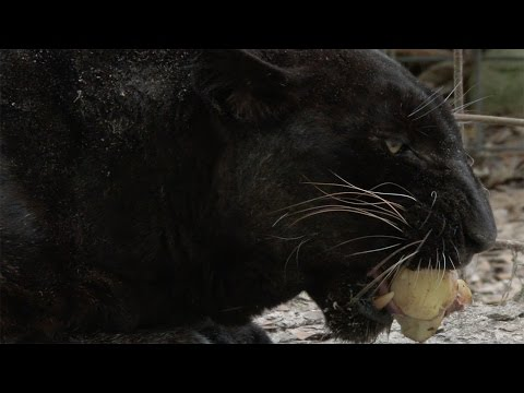 Do Big Cats Like Potatoes?