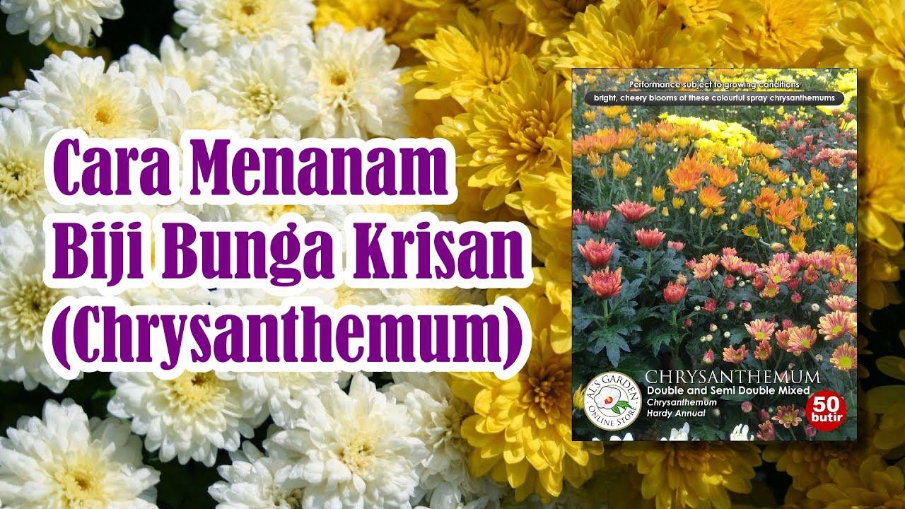 Cara Menanam Benih Bunga Krisan Chrysanthemum Youtube