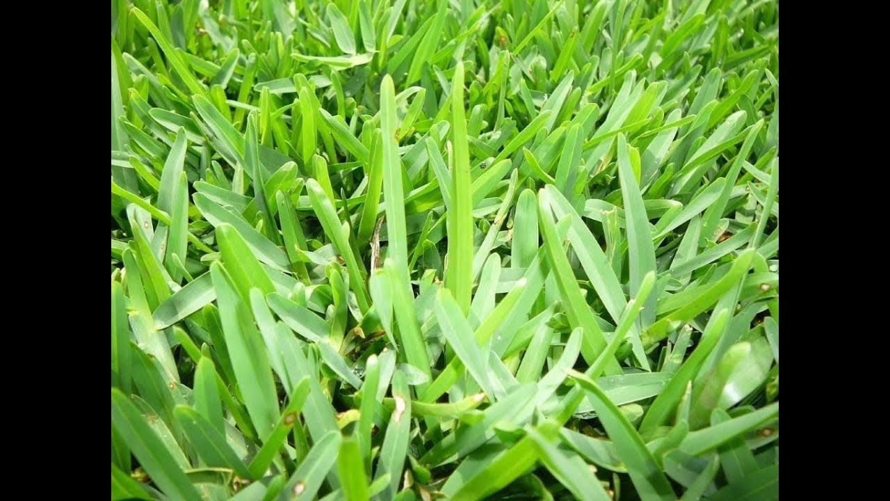 Buffalo Lawn Care Lawn Care Experts Lawn Care Sydney Lawn Specialists Lawn Doctor Sydney Youtube